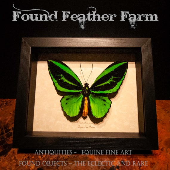 A Stunning Preserved and Framed Metallic Green Birdwing Butterfly From Papua New Guinea