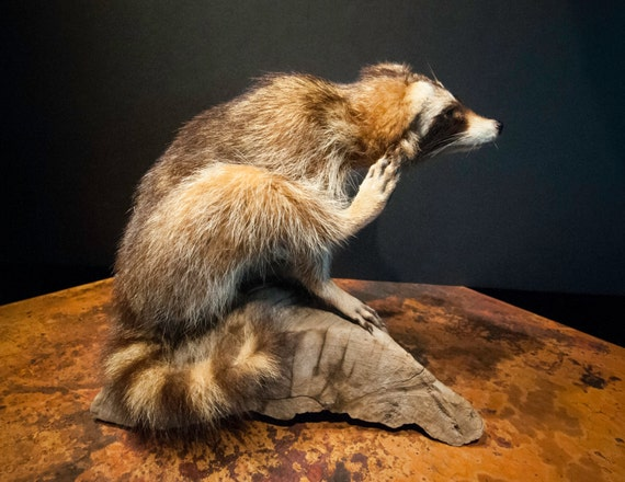 Baby Raccoon Scratching on a Log Taxidermy Mount