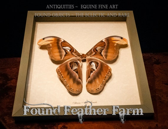 Beautiful Vintage Rare Giant Atlas Moth Mount From Maylaysia in Sage Green Shadowbox Frame