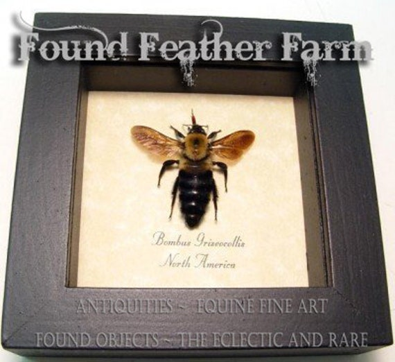 Framed North American Mounted Bee