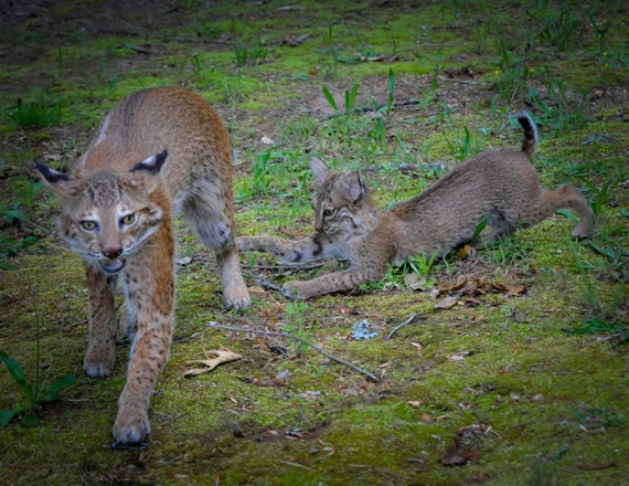 Mother and Kitten Pair of North American Bobcats Taxidermy Mounts