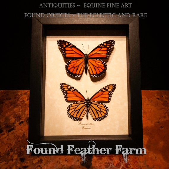 Framed Double Monarch Butterfly Preserved Specimens