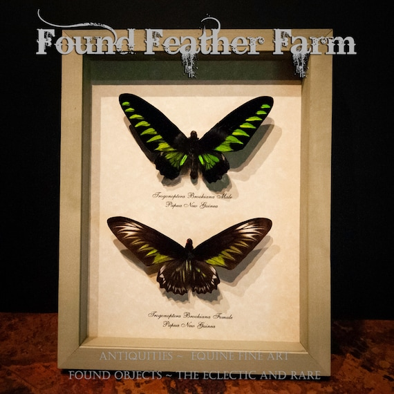 Beautiful Vintage Pair of Birdwing Butterflies Mounted From Papua New Guinea in Sage Green Shadowbox Frame