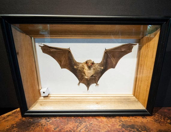 Preserved Bat Specimen in Shadow Box Frame