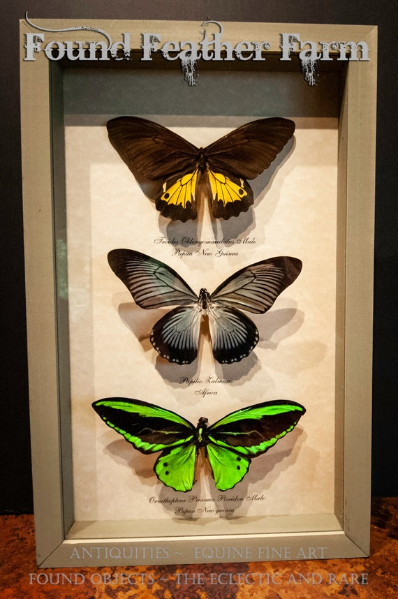 Beautiful Vintage Bird-Wing Triple Butterfly Mount From Madagascar in Sage Green Shadowbox Frame