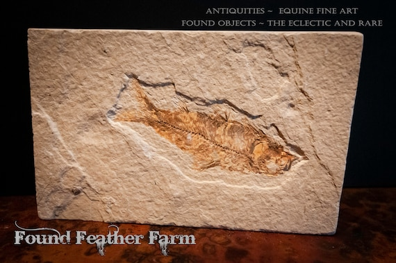 Southeastern Wyoming Diplomystus Fish Fossil in Green River Formation