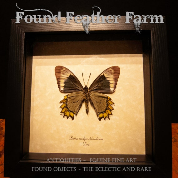 A Beautifully Preserved Swallowtail Butterfly Battus M. Chlorodamas Madyes From Peru