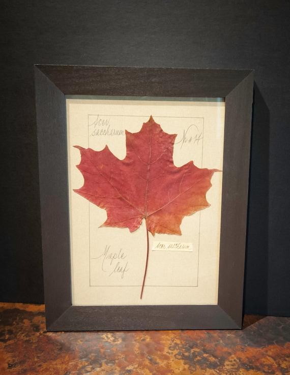 Vintage Pressed Maple Leaf Botanical Framed Under Glass