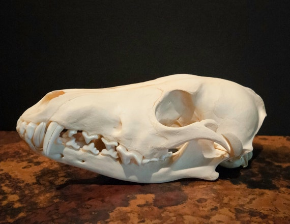 Beautiful Genuine Coyote Skull Specimen