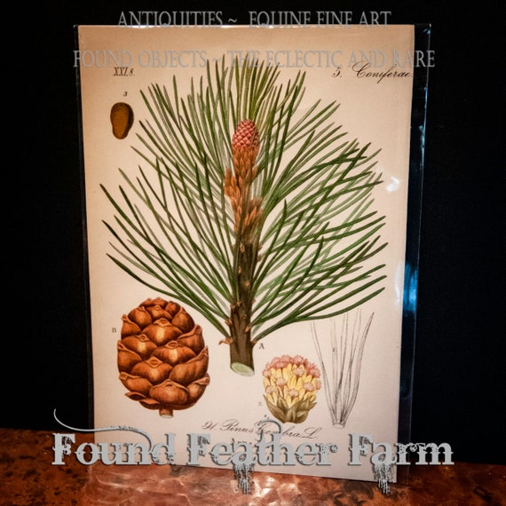 Antique 1880 Lithograph Botanical Print Swiss Pine Tree Pinus Cembra