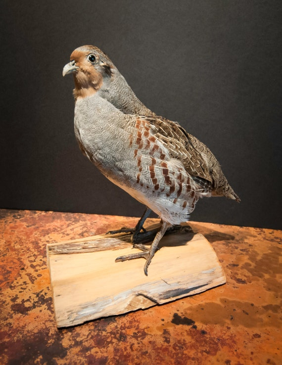 Hungarian Partridge Taxidermy Mount