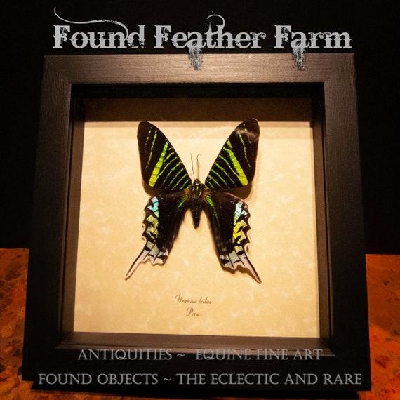 A Preserved  Butterfly Specimen Uranius Leilus from Peru