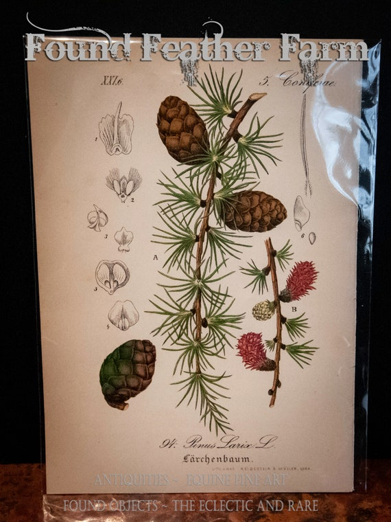 1880 Hand Colored Antique Lithograph Botanical Print European Larch Pine Tree