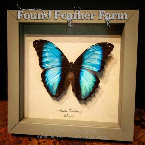 Beautiful Vintage Dazzling Turquoise Moth Mount From Brazil in Sage Green Shadowbox Frame