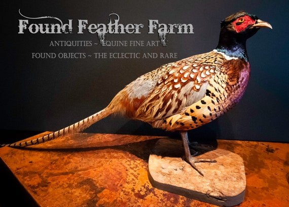 Stunning Ring Neck Pheasant Taxidermy Mounted on Pine Wood ~ Perfection