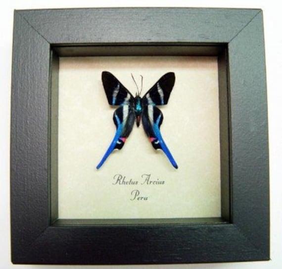 Preserved Framed Rhetus Arcius Butterfly Specimen from Peru
