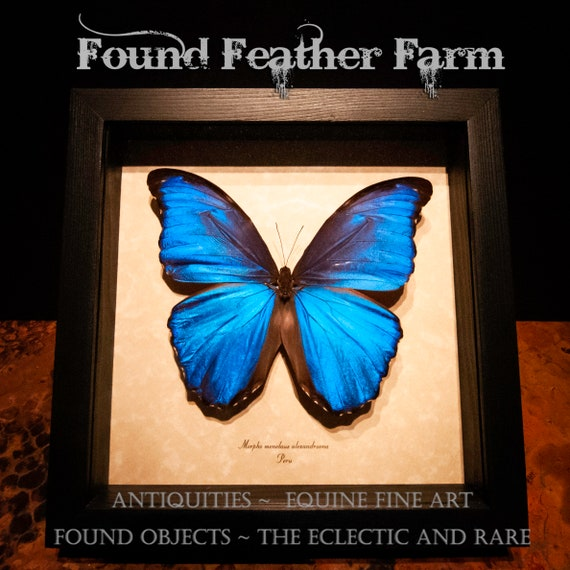 A Gorgeous Framed Preserved Metallic Blue Butterfly Known as Morpho Menelaus Alexandrovna or Morpho Blue