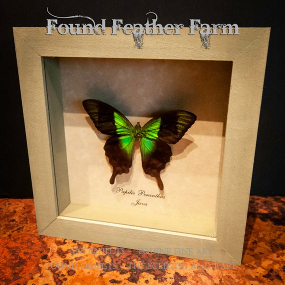 Beautiful Vintage Dazzling Green Butterfly Mount From Java in Sage Green Shadowbox Frame