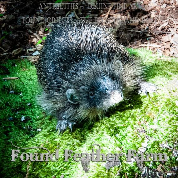 Amazing British Hedgehog Taxidermy Adult Mount