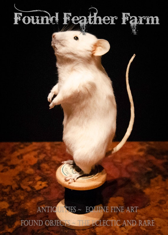 "Taxidermy Mouse ""Munch"" on Vintage Black Thread Spool"