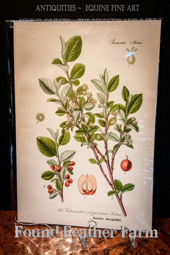 "1905 Antique Lithograph Print ""Common Cotoneaster"" by Zeyschwitz"