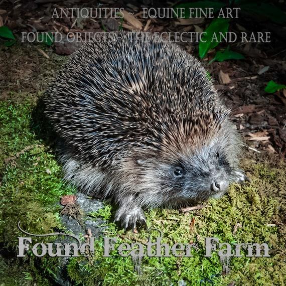 Amazing Adorable British Baby Hedgehog Taxidermy