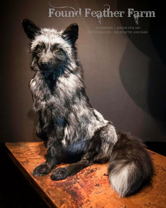 Absolutely Stunning Taxidermied Vintage Silver Fox