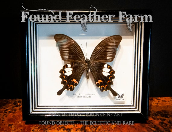 Genuine Preserved Framed Red Helen Butterfly