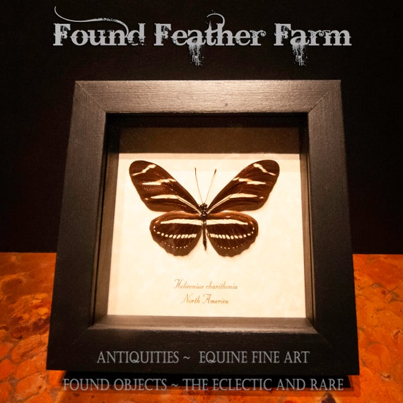 North American Framed Butterfly Specimen Heliconus Charithonia or Zebra Longwing