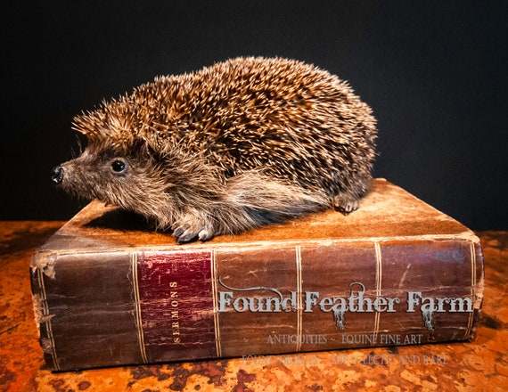Vintage British Hedgehog Taxidermy Perfection