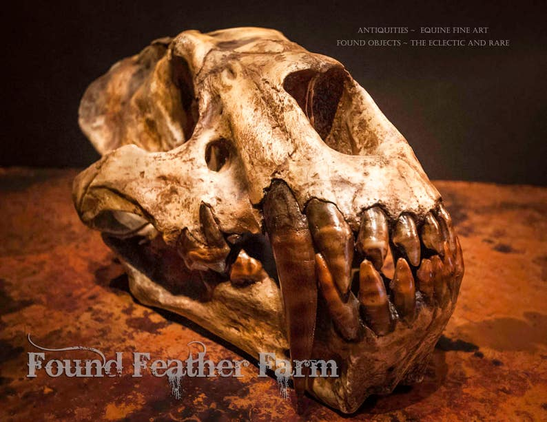 5c2de17fa Fabulous Saber-Tooth Cat Skull Fossil Replica | Etsy