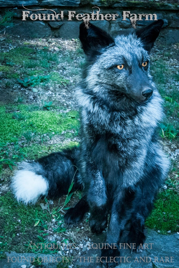A Stunning Silver Fox Taxidermy Mount with Mesmerizing Golden Brown Eyes