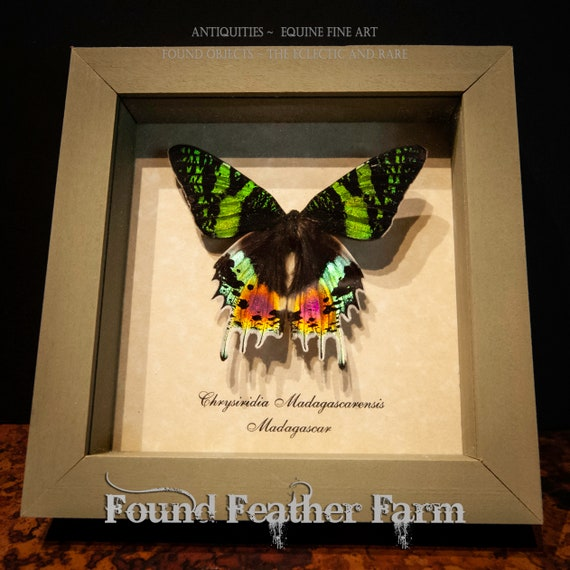 Beautiful Vintage Dazzling Green Butterfly Mount From Madagascar in Sage Green Shadowbox Frame