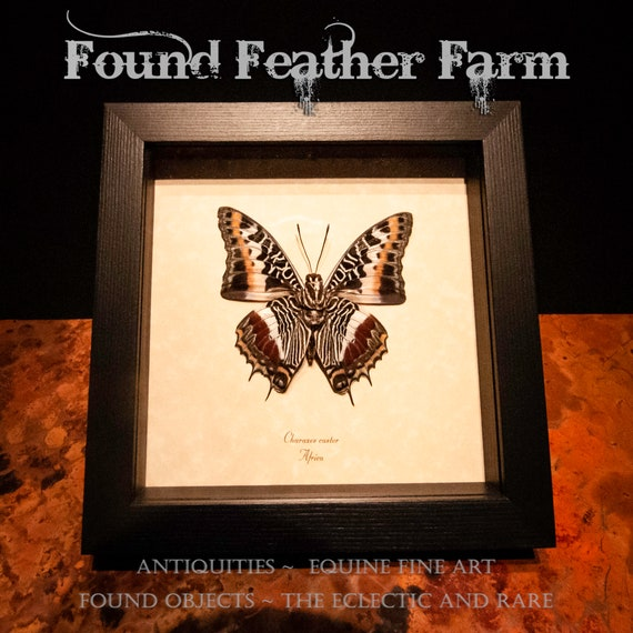 A Preserved and Framed Charaxes Caster Butterfly from Africa
