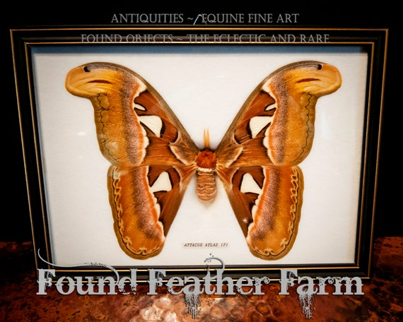 Beautiful Vintage Rare Giant Female Atlas Moth Mount From Maylaysia Preserved in Black Shadowbox Frame