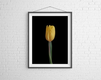 Fine Art Photography Print - Flower, Nature, Studio - Yellow Tulip