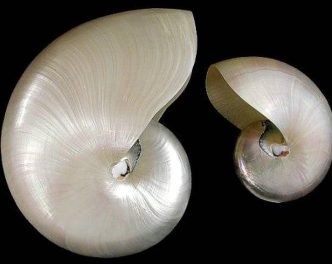 Pearl X-Small Whole 1 Shell Nautilus Seashell