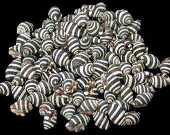 Bumble Bee (Black & White) (Engina Mendicaria) Tiny Seashells  (5 Shells)
