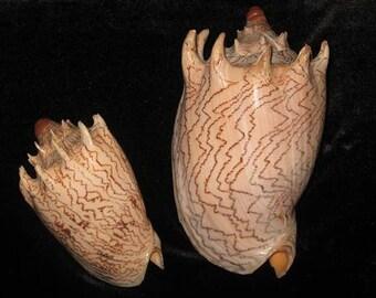 Voluta Robinsona Seashell  (EA)