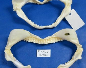 Shark Jaw with Teeth  (Medium)  (EA)