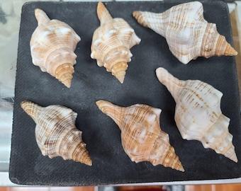 Fox Conch (Striped Fox) Seashell  (Small)   (1 shell)