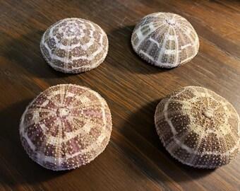 Alfonso Sea Urchin  (Medium)  (EA)