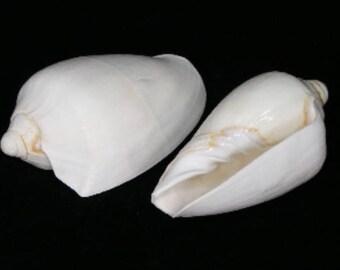 Voluta Nobilis (White) Seashell  (EA)