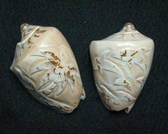 Voluta Nobilis Shell Carved (EA)
