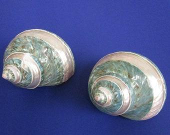 Banded Jade Turbo Seashell  (Medium)  (1 Shell)