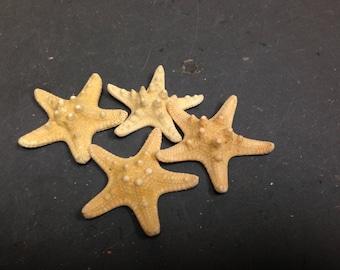 Knobby Brownish Starfish (Small)  (2 starfish)