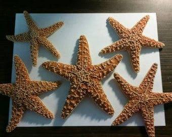 Sugar Starfish (Medium)  (1 starfish)