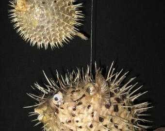 Preserved Porcupine Fish with hanging String  (EA)
