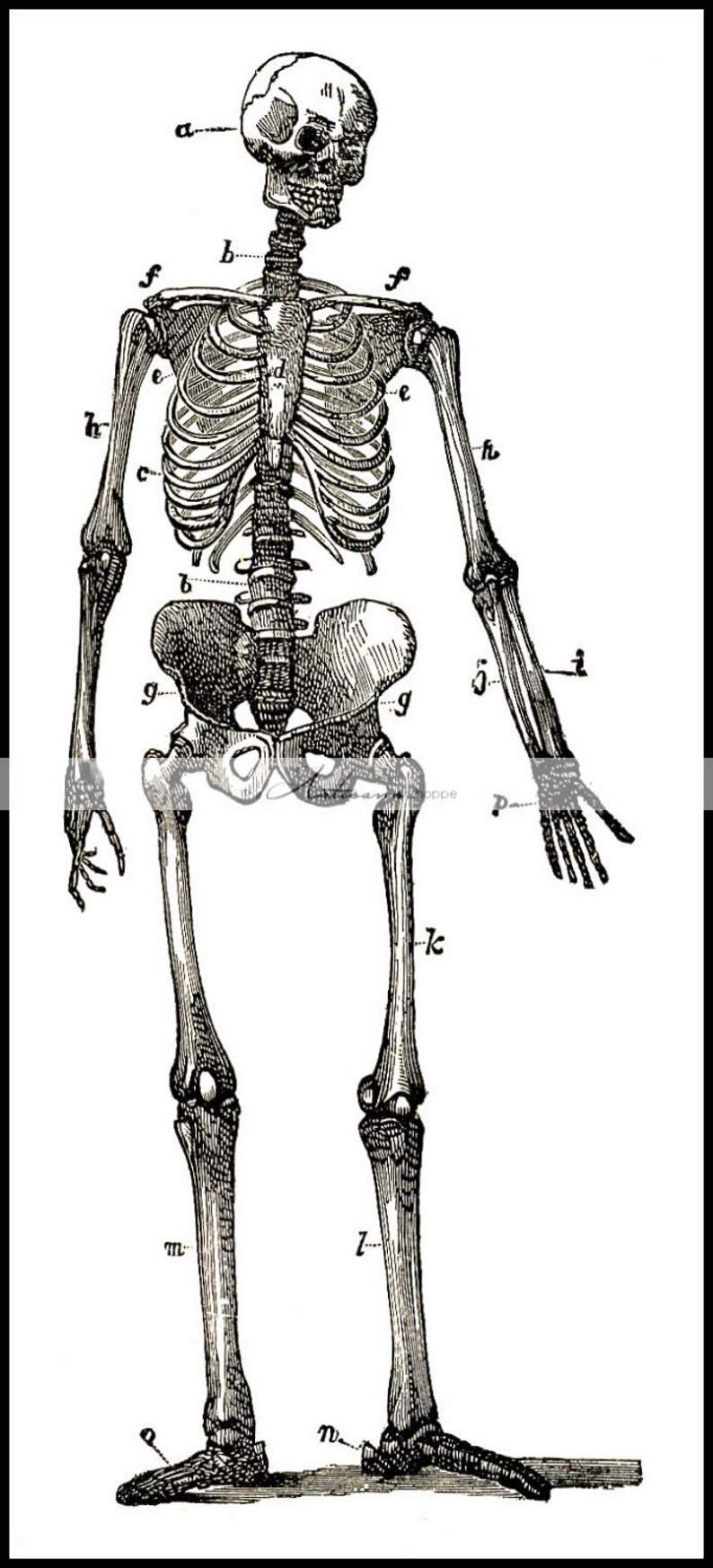 graphic regarding Printable Skeleton Parts referred to as Electronic Obtain Printable - Skeleton Diagram Case in point Human Anatomy Artwork Impression - Paper Crafts Sbook Adjusted Artwork - Halloween Demise