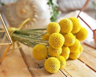 Natural dry Craspedia, dry flower arrangement, Billy Balls, Billy Buttons, dry yellow craspedia, drumsticks flowers balls, yellow flowers